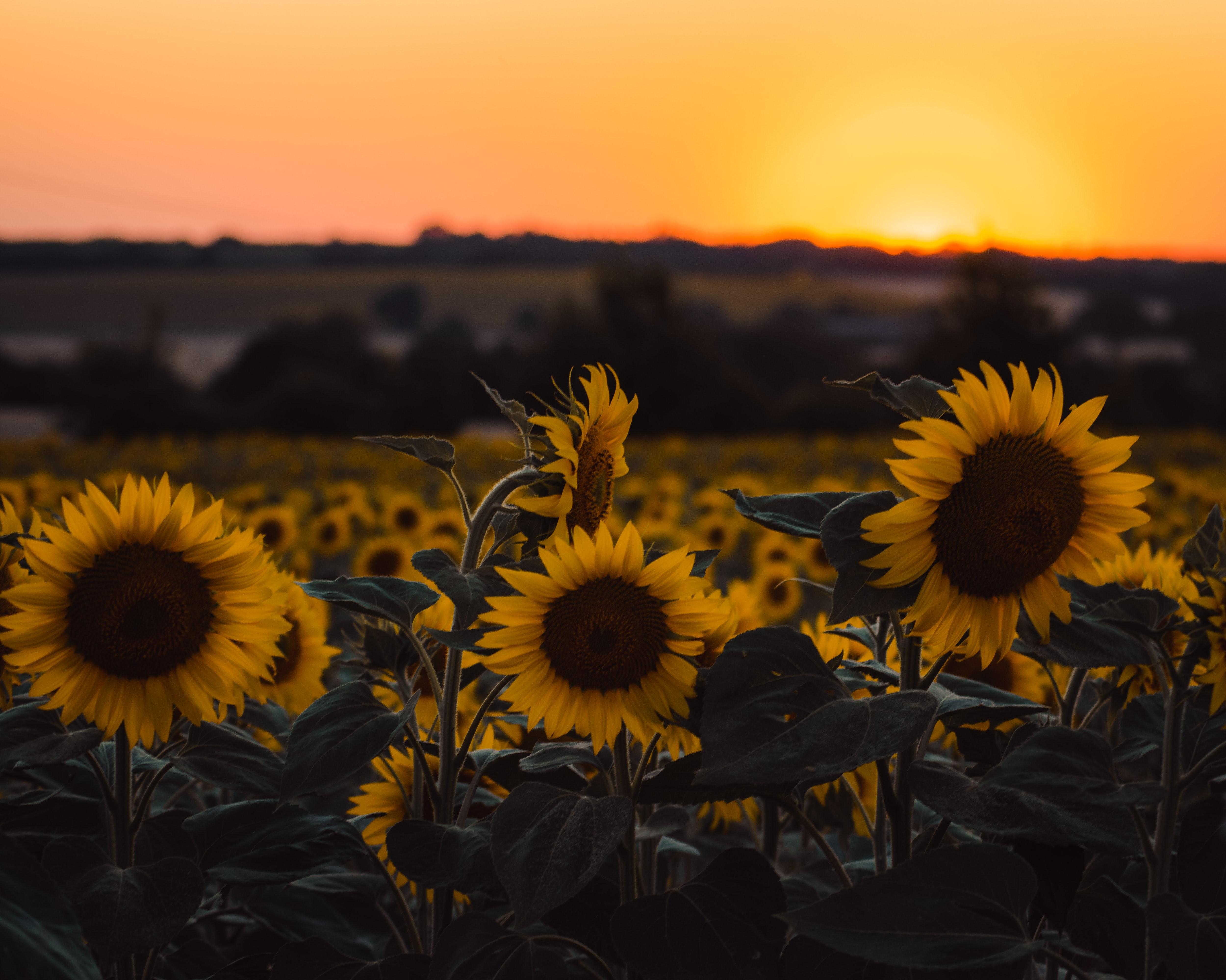 Solrosor och en solnedgång